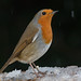 Robin in snowfall