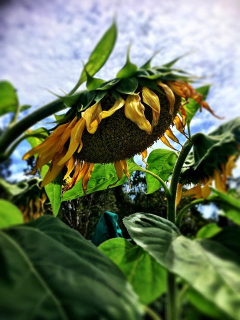 Yamba Community Gardens. Sunflowered.