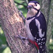 68 Great Spotted Woodpecker F