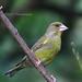 40 Greenfinch