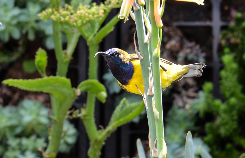 Plain backed sunbird
