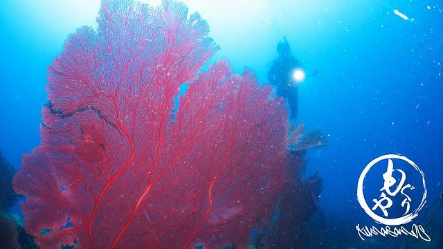 色鮮やかなソフトコーラルもでかい。ダイバーより大きい珊瑚が沢山あります