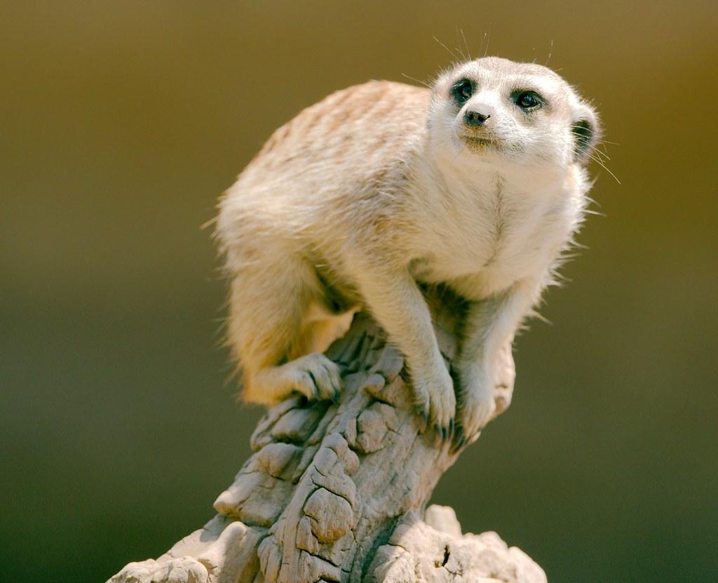 Meerkat_2