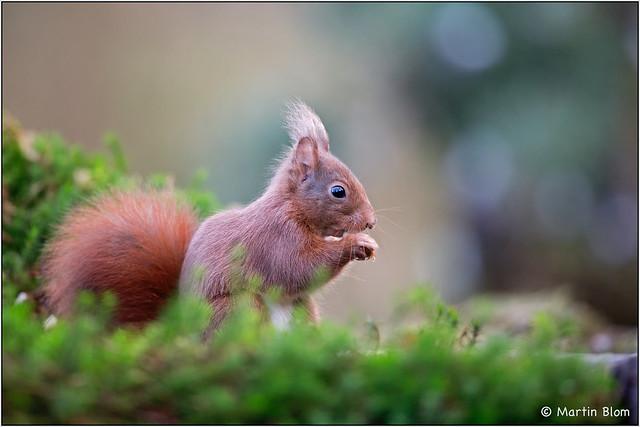 Eekhoorn / Red squirrel (Sciurus vulgaris)