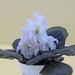 非洲紫羅蘭 Saintpaulia LE-Banananoviy Desert   [香港北區花鳥蟲魚展 North District Flower Show, Hong Kong]