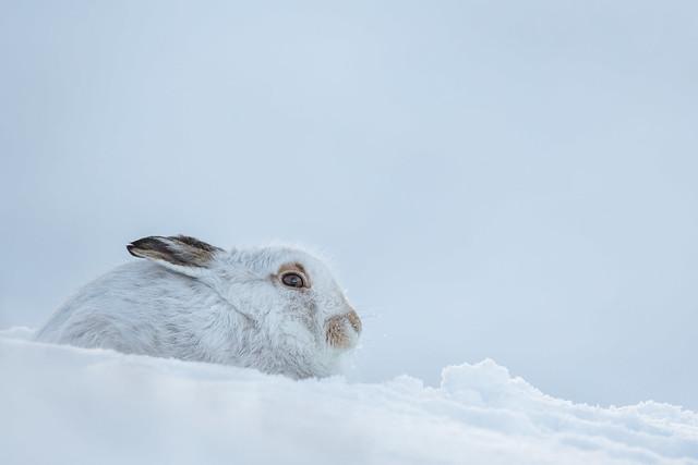 Mountain Hare - Relaxing