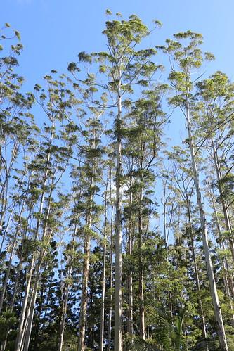 70 metre tall Eucalyptus