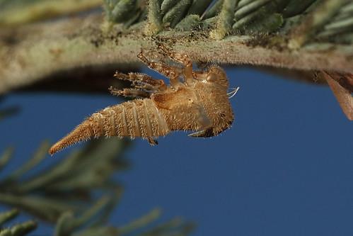 Acacia Horned Treehopper shell