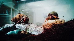 My crabs look ready for a Quentin Tarantino film!