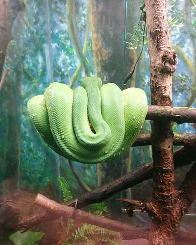 Coiled green (2) #toronto #torontozoo #snakes #reptiles #latergram
