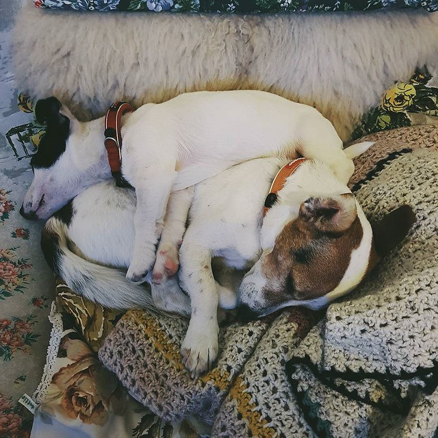 A heap of russells #illegallyparked #jackrussellterrier #afternoonnap #stanleyandscout