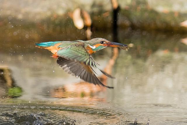 20171229-kingfisher-DSC_3023
