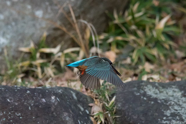 20171229-kingfisher-DSC_2817