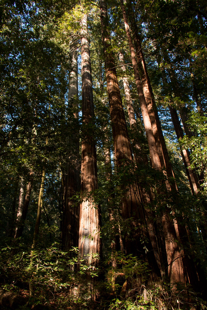 12.10. Big Basin: Sequoia Trail
