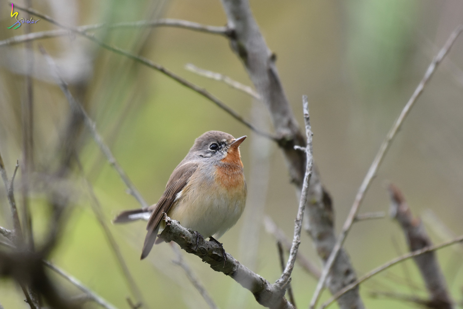 Red-breasted_Flycatcher_0902