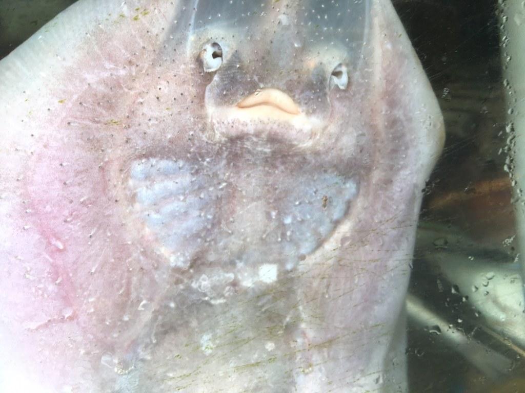 ray-fish2