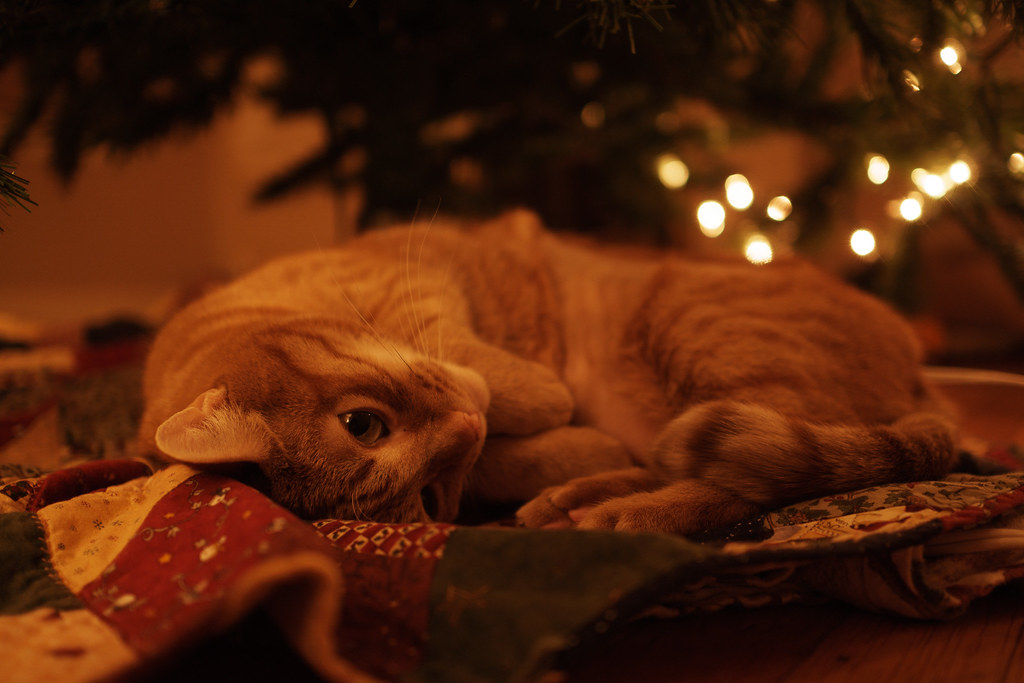 Our cat Sam curls up under the Christmas tree as the lights shine like stars in the background
