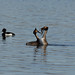 Great Crested Grebe mating ritual