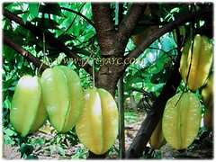 Averrhoa carambola (Star Fruit, Starfruit Carambola, Caramba, Country Gooseberry, Belimbing Manis in Malay) is a small to medium tree in height that grows up to 10 m tall, 31 Dec 2017