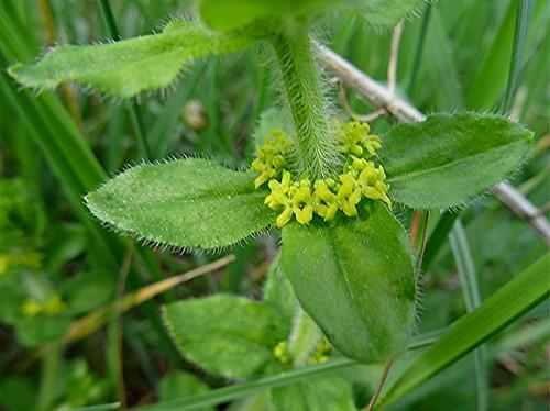 Gewöhnliches Kreuzlabkraut - Cruciata laevipes, NGIDn1480082052