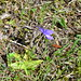 Common Butterwort by D Phillips