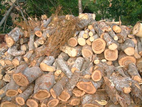 leucaena leucaenaleucocephala fabaceae timorleste timor easttimor firewood