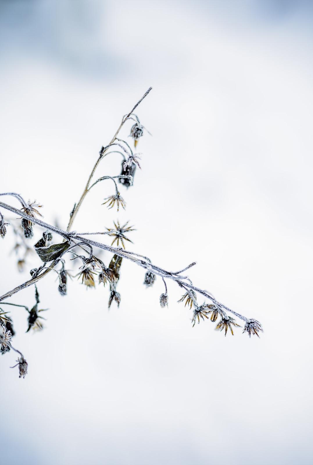 vinter växt