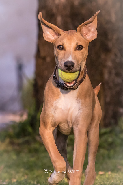 African Hunting dog puppy, Canon EOS 7D MARK II, Canon EF 500mm f/4L IS II USM