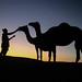 Camel Feeding Time