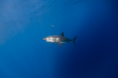 Image by George Probst (sharkpix) and image name Walter Whiteshark photo  about Walter Whiteshark is a male great white shark who was identified at Isla de Guadalupe 3 years ago. He was given his name (presumably based off the Breaking Bad character) through the photo identification project at the island. I've been fortunate enough to see Walter 3 years in a row.