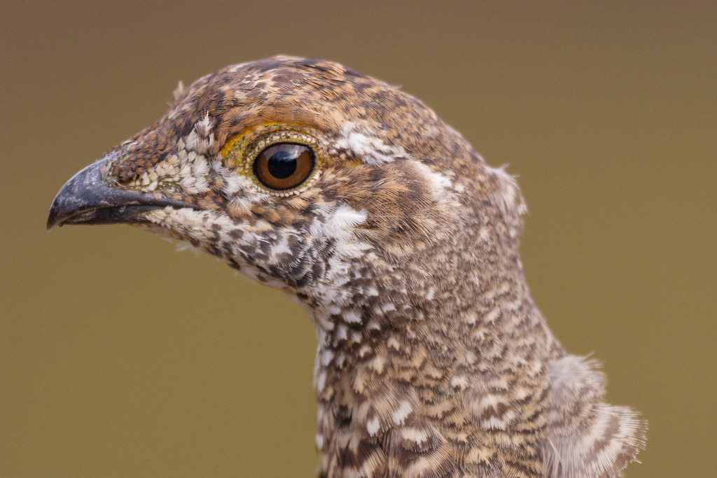 A close-up of a sooty grouse's head on the Sourdough Ridge Trail in Mount Rainier National Park