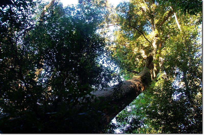 大巨木 1