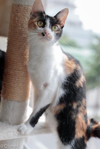 アトリエイエネコ Cat Photographer 38509676815_cb9740b56d シェルター型幸せ探し猫カフェQsmet(くすめっと)