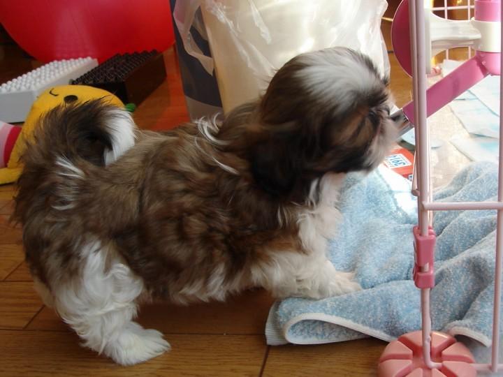 給水器で水を飲むシーズーの子犬