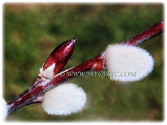 Reddish-brown branch of Salix discolor (American Pussy Willow, American Willow, Large Pussy Willow, Pussy Willow, Glaucous Willow) with beautiful white catkins, 4 Jan 2018