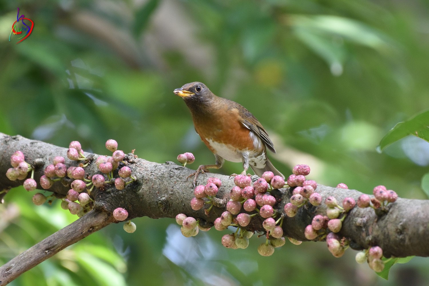 Brown-headed_Thrush_4894