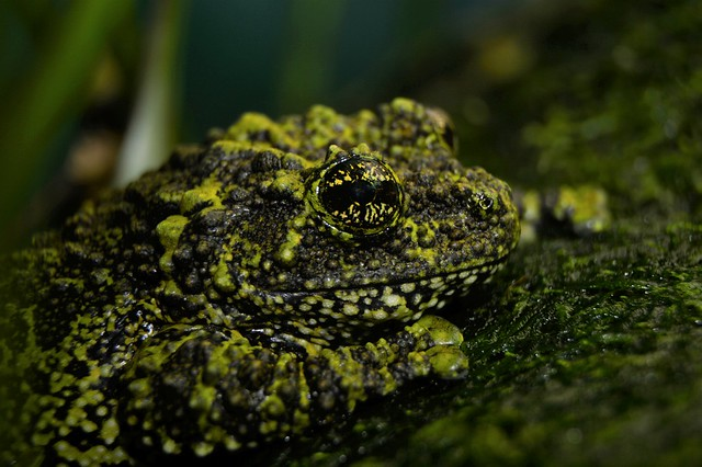 Vietnamese mossy frog (Theloderma corticale) _DSC0065