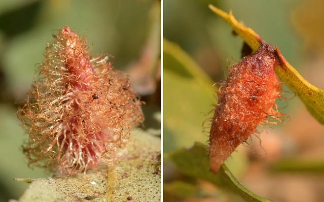 Galls of the Crystalline Gall Wasp (Andricus crystallinus) on Scrub Oak