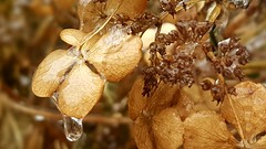 Freezing rain on hydrangea flower