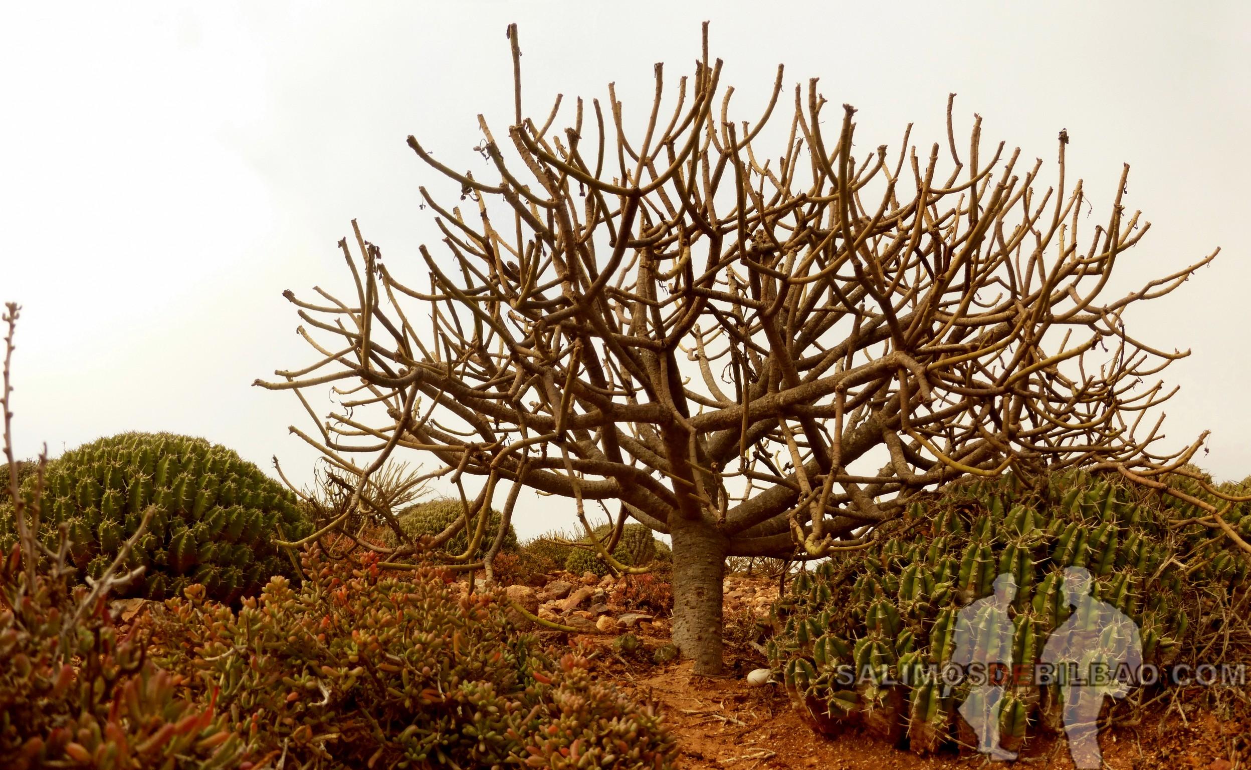 416. Pano, Árbol, Camino de Sidi Ifni a Legzira