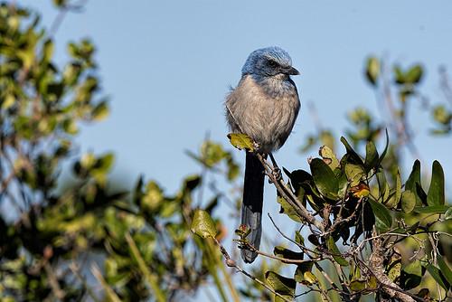 Merritt Island NWR: Florida Scrub-Jay