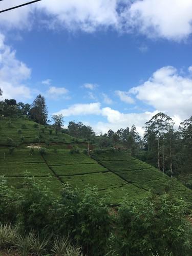 茶畑を走る山道の清涼感よ