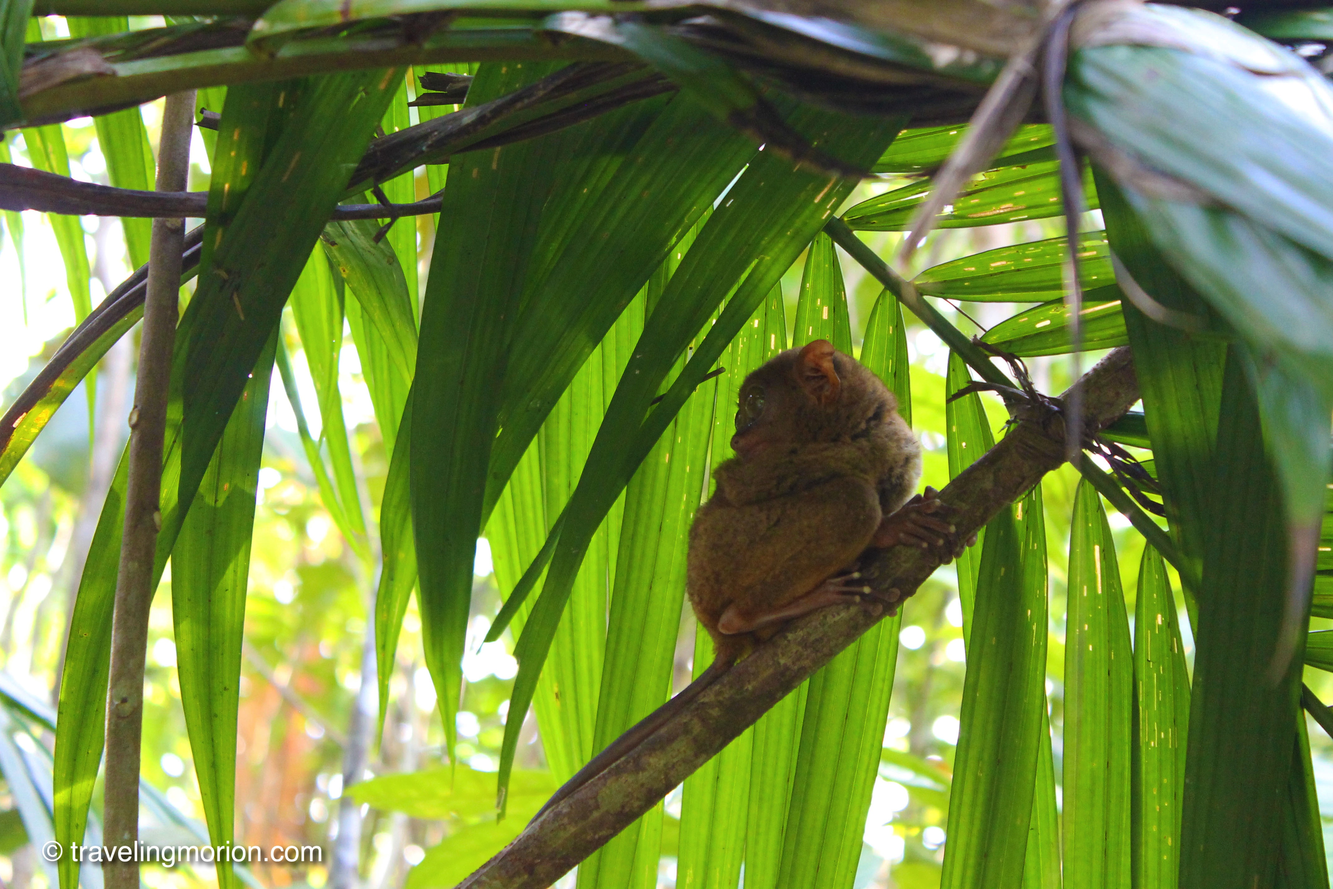 Tarsier, Bohol