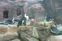 Como Park Zoo - African Penguins
