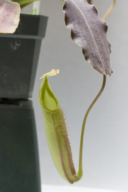 Nepenthes maxima Wavy Leaf BE