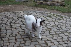 Pygmy goat @ Zoo @ Bois-de-la-Bâtie @ Geneva