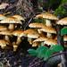Spiky: cluster of honey fungus
