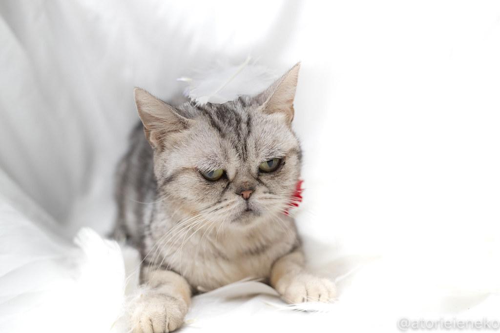アトリエイエネコ Cat Photographer 38225776135_99d1cb68c5_b 1日1猫! 高槻ねこのおうち アンジーちゃんの里親様が決まりました♪ 1日1猫!  高槻ねこのおうち 里親様募集中 猫写真 猫 子猫 大阪 写真 カメラ Kitten Cute cat