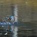 Common Kingfisher by myu-myu