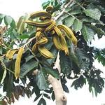 Inga feuillei fruit